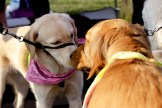 "Service dogs Wish (left) and Viola (right) give each other a friendly greeting. They were two of several ""K-9's in the Ville"" service dogs who made an appearance at the fair."