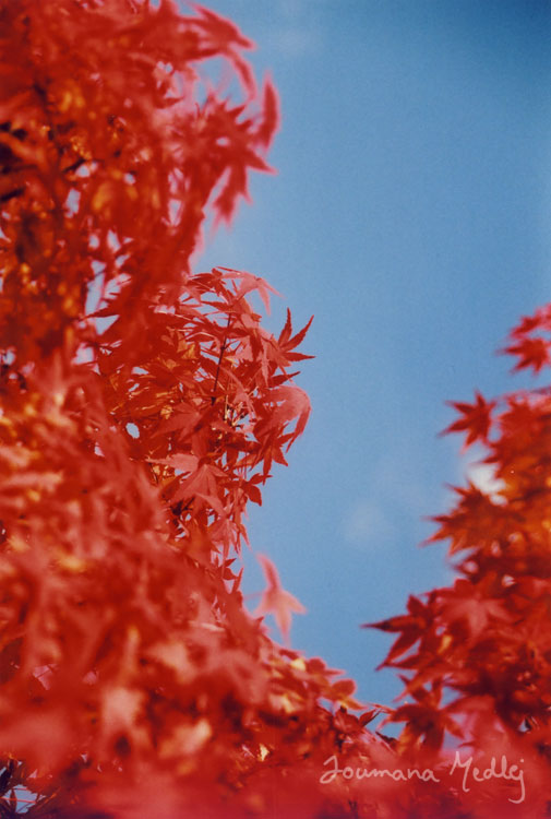 Maple-red