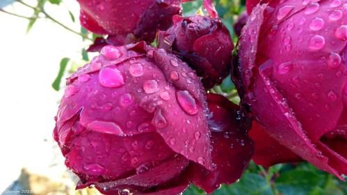 Rain Spots on Roses