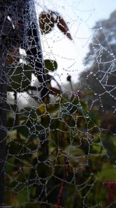 Web Lace