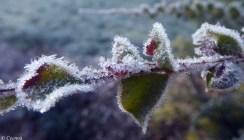 Frost on Wattle