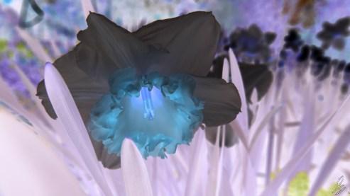 daffodil-1-inverted