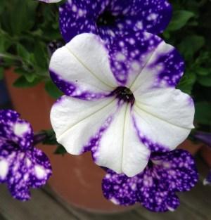 Petunia (1)