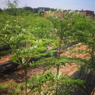 Our little moringa forest.