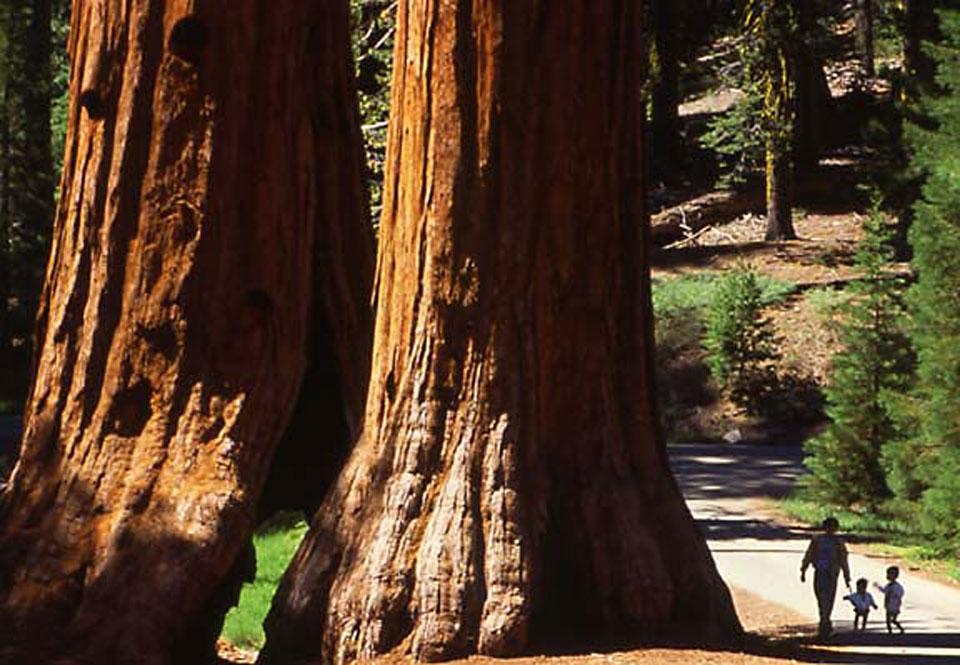 Yosemite-MariposaGrove_01