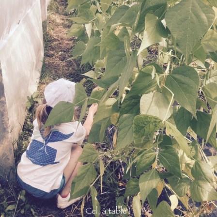 Cueillette d'haricots verts