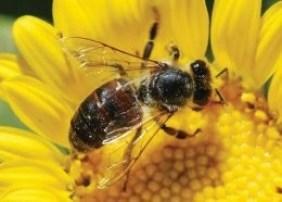 bee-on-sunflowere_0