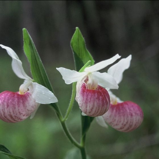 Showy_Lady_slipper_orchid