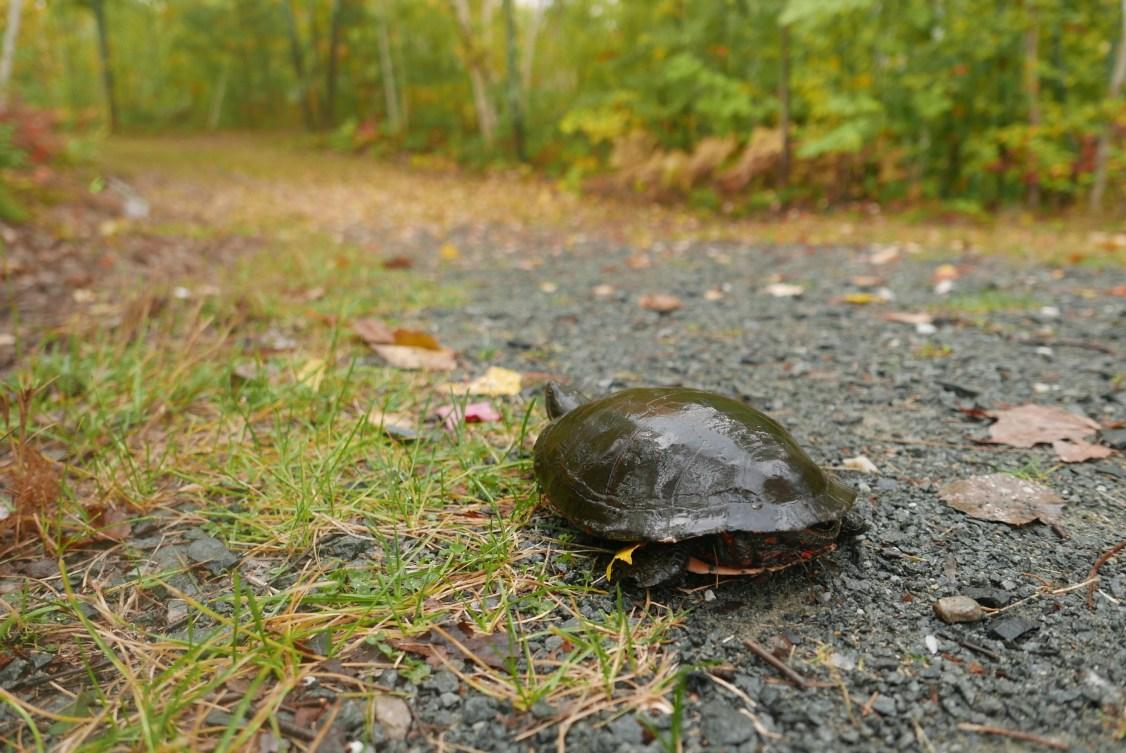 midland_painted_turtle