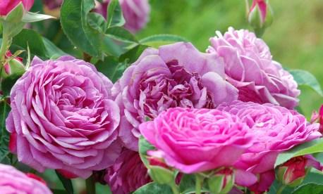 Heidi-Klum-Rose_(Tantau_2006)_01