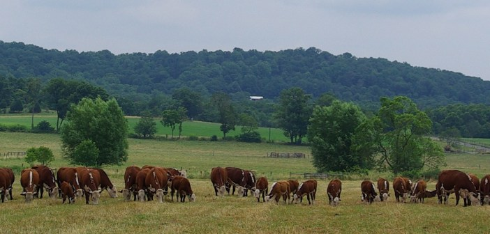 Cows lined up on farm