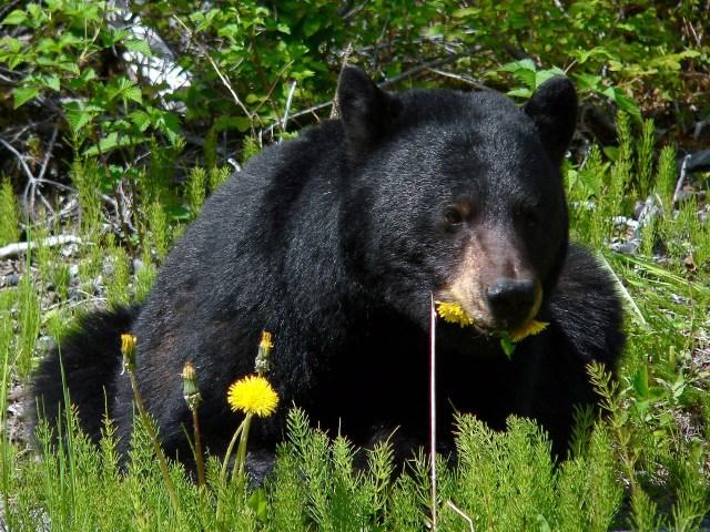 black-bear-and-dandelions
