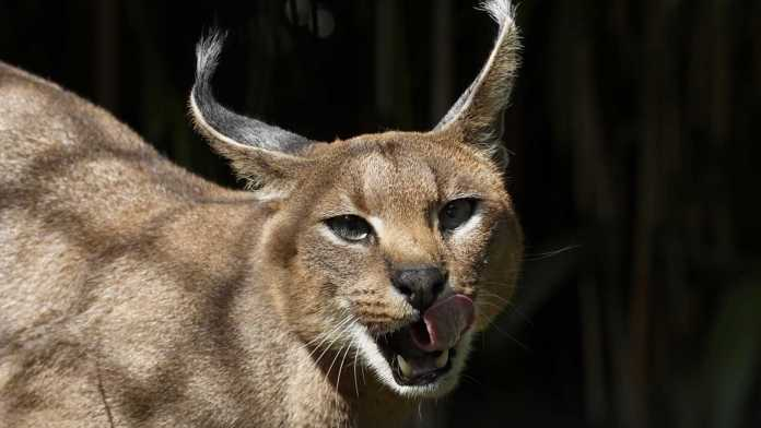 "Caracals, or ""desert lynxes,"" are a rare breed of cat native to Africa. (nationalzoo.si.edu, File)"