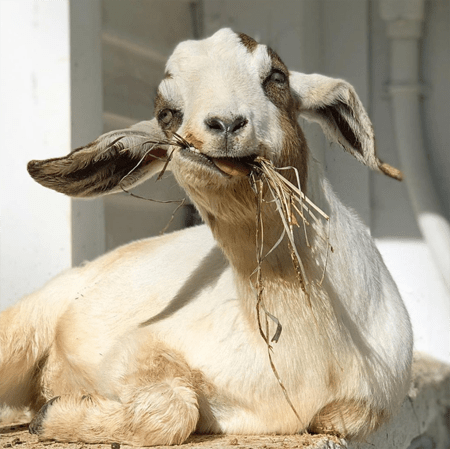 Goats of Anarchy was founded in 2014.