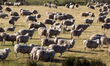It's the Year of Sheep.