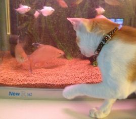 Latte played with the fishes when he was just a kitten and the fishes were small... June 2013
