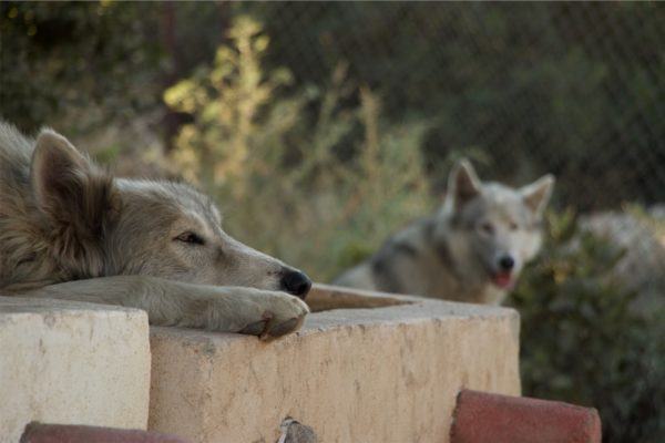 photo of two wolves at rest