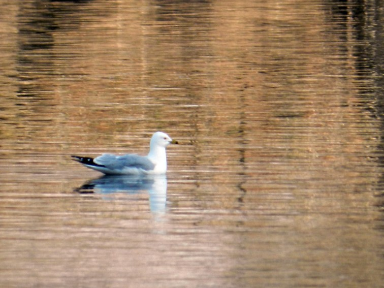 A gull on the evening water of the North Pond © 2013 Celia Her City
