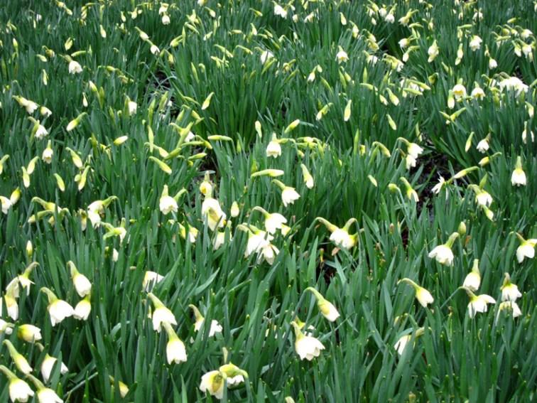 Daffodils, © 2013 Celia Her City