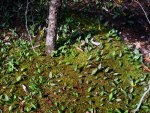 Trout lily and moss, © 2013 Celia Her City