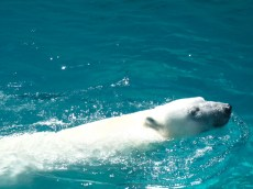 A polar bear swimming at Lincoln Park Zoo, © 2013 Celia Her City