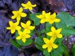 Marsh marigolds (detail), © 2013 Celia Her City