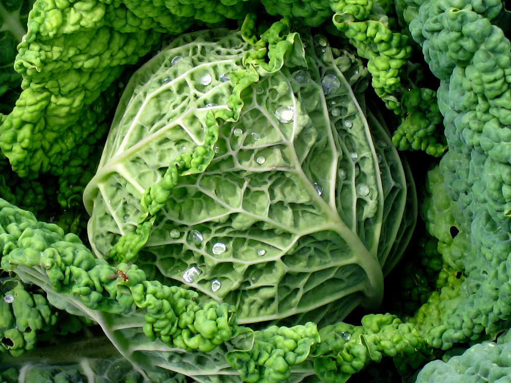 The nucleus (cabbage), © Celia Her City