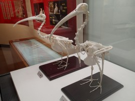 Skeletons of the last toki birds