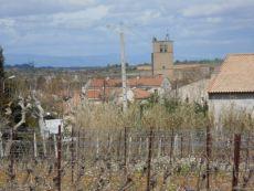 Merlot vines day one