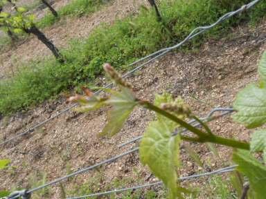 grape flower spikes