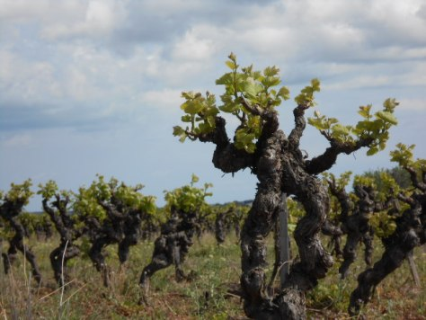 elderly vines