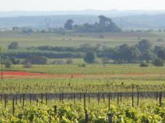 Languedoc vneyards