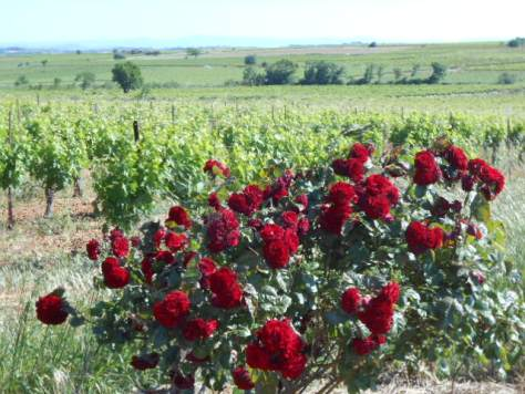 Roses in the vines