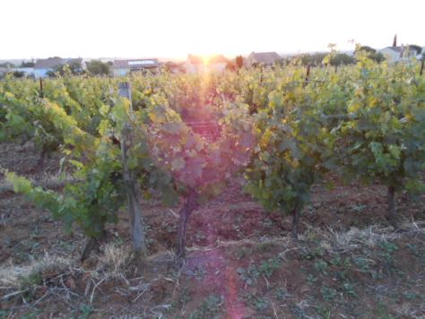 sunrise on our vine