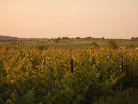 Languedoc vines at dawn