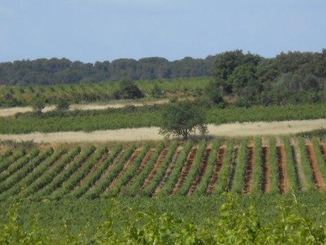 Languedoc vines