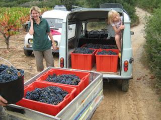 Juliet's vine harvest