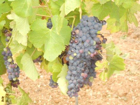 Luscious vine
