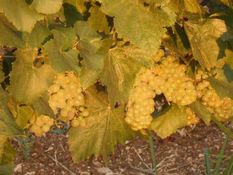 Chardonnay vine