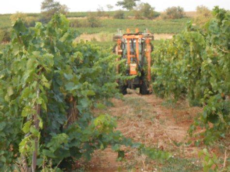 Languedoc vine trimming