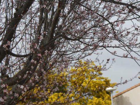 Languedoc blossom