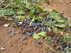 destroyed grapes
