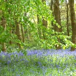 secret Bluebellwood