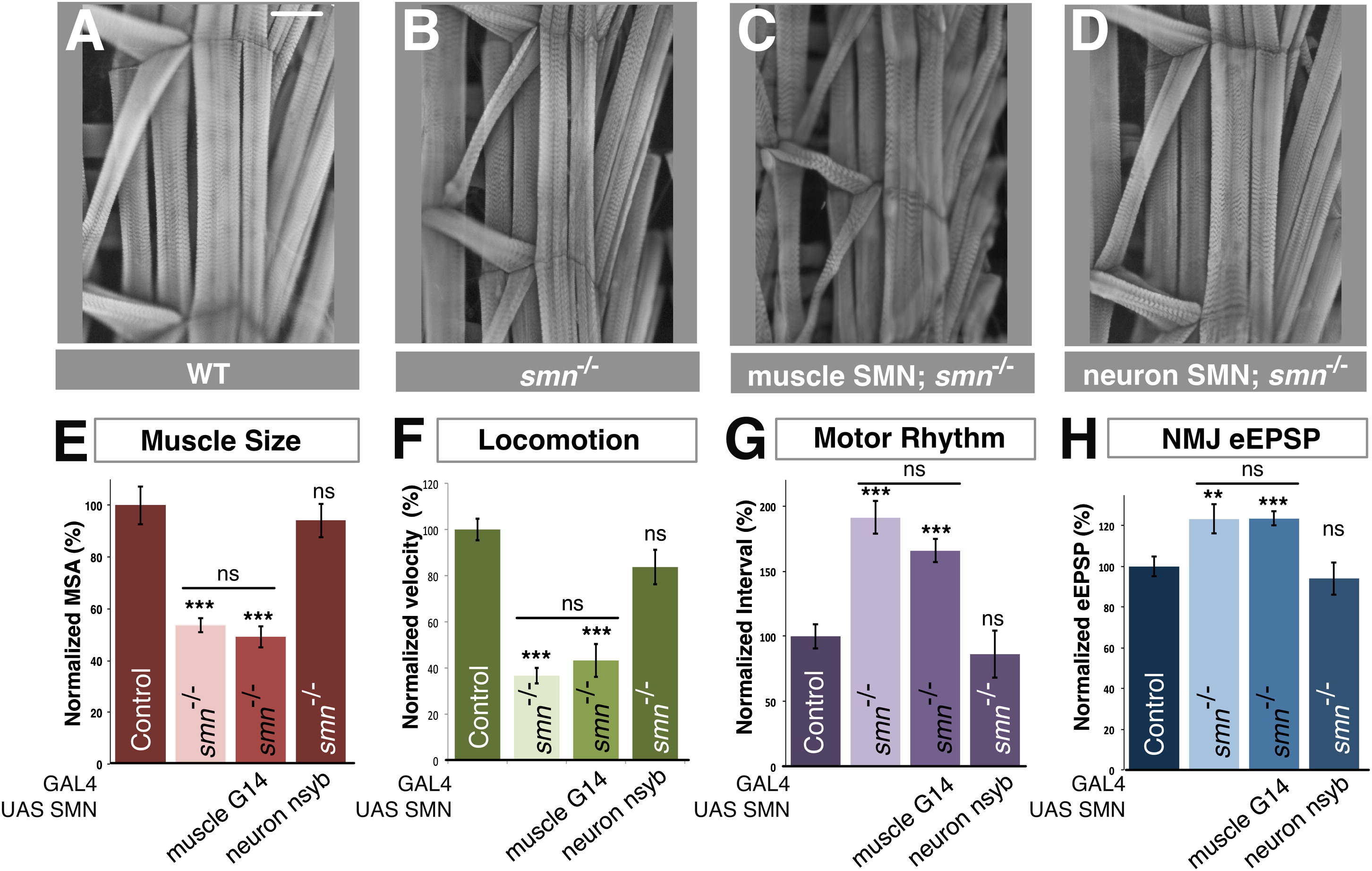 SMN Is Required For Sensory-Motor Circuit Function In