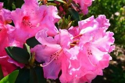 シャクナゲの花