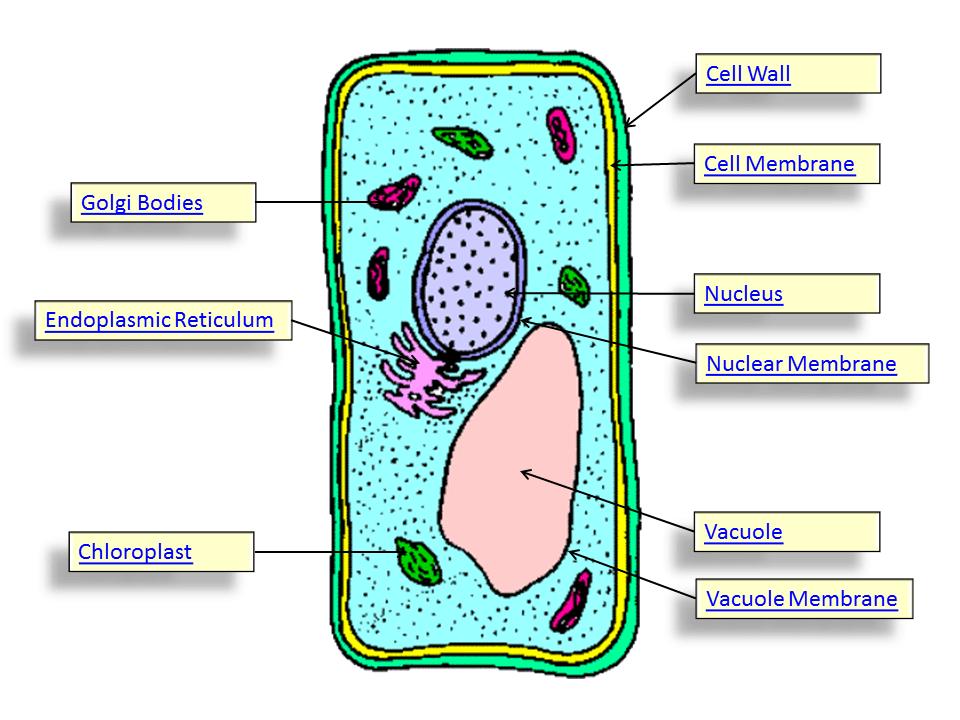 Cheek Cells Structure Diagram