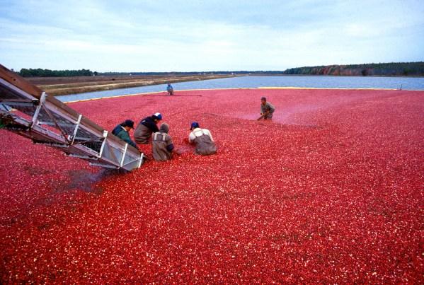 Cranberrys_beim_Ernten