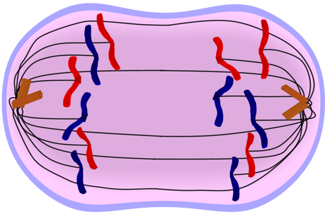 Image result for anaphase