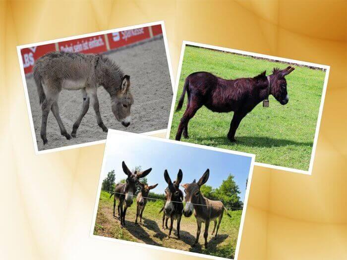 Es un collage de burros con grandes orejas y un pollino comiendo