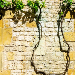 Vine Tree, Montpazier, France